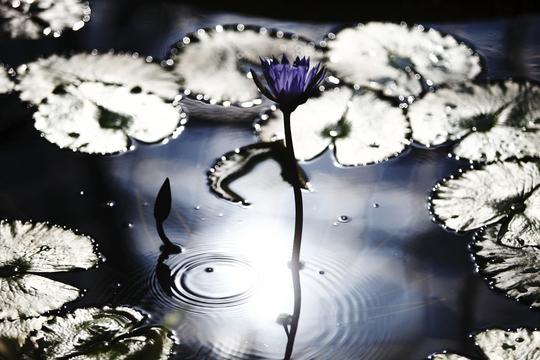 水面に咲く.jpg